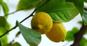 Due limoni sulla pianta